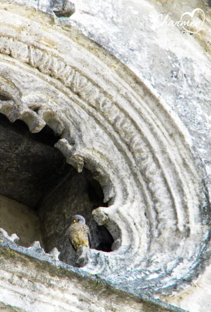 Falco Grillaio a Gravina di Puglia